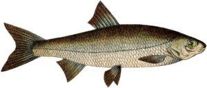 fish straight drawing